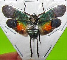 Peleng Island Lanternfly Cicada Penthicodes farinosa peleng Spread FAST FROM USA