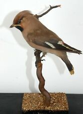 More details for waxwing
