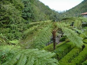 CYATHEA COOPERI - Amazing Tree fern - Quality Plants