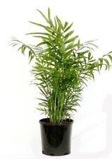 15 X Semillas Chamaedorea Elegans. la salita Palm