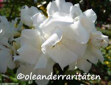 Oleander Pflanze MONT BLANC  3l Topf   60-70cm WEISS  gefüllt  selten