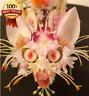 120pc+120pc UNTIL 3/31/18  Rare Japanese Monkey Face Orchid Bonsai RARE **HOT