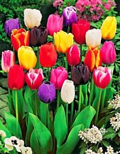 100Pcs Tulip Flower Seeds 15 Kinds Rare Beautiful for Garden Plants Colorful