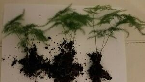 Rooted Baby Asparagus Plumosus  Fern starter cutting House Plant  x1