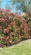 5 PZ Pianta di Photinia Red Robin Pianta Photinia da Siepe vaso 7 fotinia - 5 PZ