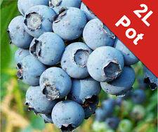 Blueberry Soft Fruit Patriot Bush Vaccinium Corymbosum Patriot 2L Pot Superfood