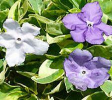 FRAGRANT DELIGHT Brunfelsia VARIEGATED scented blue white flowers plant 140mm