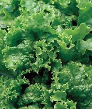 Green Ice Lettuce The Sweetest Lettuce 250 seeds pk.Same day Free Shipping
