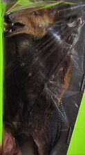 Dagger-toothed Long-nosed Fruit Bat Macroglossus minimus Hanging FAST SHIP USA