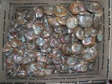 1/4 pound lbs of fossil rainbow polished whole ammonites per lot. Free shipping