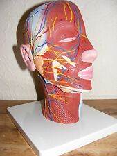 MEDICAL CURIOSITY Anatomical Model HALF HEAD Near Life Size New Unused