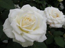 ROSE FLOWER SEEDS -  WHITE