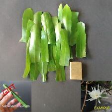 12 Cuttings Epiphyllum Pumilum Cactus Succulent + FREE GIFT