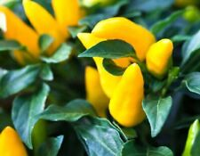 25 Gold Finger Ornamental Pepper Seeds Annual Spicy Seed Plant Perennial Hot 81