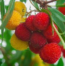 Strawberry Tree, ARBUTUS UNEDO exotic fruit rare flowering madroño seed 15 SEEDS