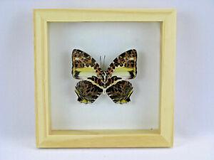 3D Box papillon - taxidermie, exotiques, réel - une beauté unique Naturalise