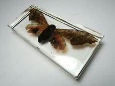 POPLAR SPHINX PACHYSPHINX OCCIDENTALIS. Real moth clear resin encapsulation.