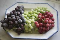3 Seedless Grape Plants - 1 Red 1 White 1 Blue - Nows a Great Time to Plant