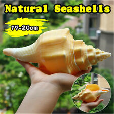 Large 17-20cm Natural Conch Shells Coral Sea Snail Fish Tank Home Ornament  A