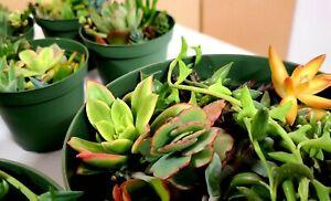 Succulent Assorted Succulent mixed Varieties