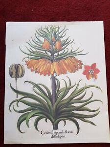 Tavola botanica dell'Hortus Eystettensis ABOCA stampa quadro corona imperialis