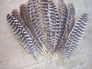 Eastern wild turkey gobbler secondary feathers. 24