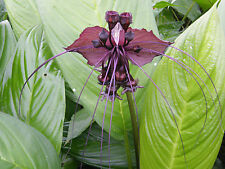 2 Plants Bulbs Tacca chantrieri, Black bat flower rare Plant Healthy and Strong
