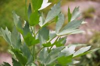 Lovage, Levisticum officinale, Maggi Herb, NON-GMO, Variety Sizes, FREE SHIPPING