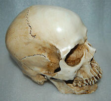 Resin Replica 1:1 Real Life Human Anatomy Skull Skeleton Medical Party