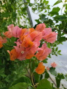 Bougainvillea Orange-Rose,plant rooty cutting
