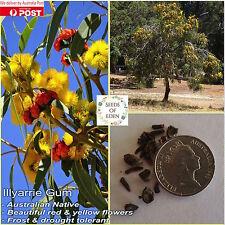 10 ILLYARRIE GUM SEEDS (Eucalyptus erythrocorys); Drought Tolerant Native Plant