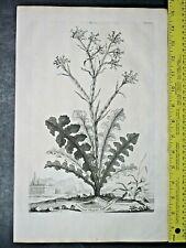 Limonium elegans aspleniadeum,Abraham Munting,rare&large Engraving,1696  #710