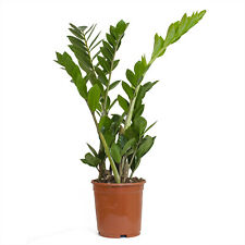 1Zamia Palme Zamioculcas zamiifolia  5ocm (1)