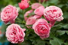 Rose De Mai Absolute 5ml @ 5% Dilute (Origin India)