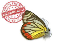 Painted Jezebel Butterfly Delias hyparete hyparete Real Insect Male Folded