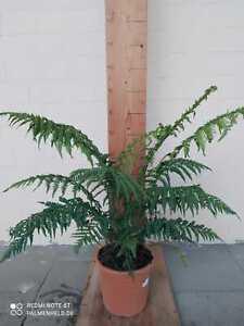 Dicksonia antarctica Baumfarn Taschenfarn Urzeitfarn 80-100cm Höhe