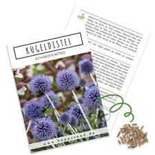 Kugeldistel Samen (Echinops ritro) - Schöne Blumen mit blauen Blütenköpfen