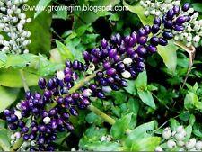 Aechmea lueddemanniana bromeliad offset