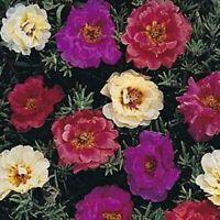 100 Dark Mix Moss Rose Seeds Bloom Flower Perennial Flowers Seed 168 USA Seller