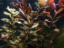 "Ludwigia Repens Red Super ""Rubin"" - Live Aquarium Plants Bunch Fish Tanks"