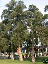Cajeput/Weeping Paperbark Seed (Broad Leaf) Warm Climate Melaleuca leucodendron