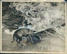 1937 Dog Tries to Catch Salmon River Ettrick Philiphaugh Press Photo