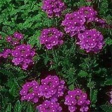 500 Purple Hardy Moss Verbena Tenuisecta Flower Seeds + Gift & Comb S/H