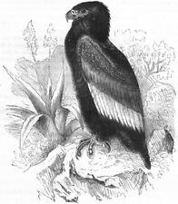 BIRDS. Raptorial. Kite. Short-tailed c1870 old antique vintage print picture