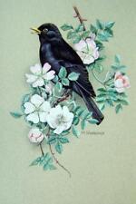 Ornitologia BLACKBIRD sulla fioritura ramo Margaret sherbourne con col C1971
