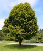 Hainbuche - Carpinus betulus - Hornbeam 100+ Samen - Saatgut - Seeds