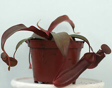 """Nepenthes SANGUINEA (Highland tropicale BROCCA) LIVE Carnivorous Plant in 3 1/2 """"POT"""