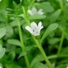Brahmi MEMORY HERB Bacopa monnieri medicinal groundcover plant in 100mm pot