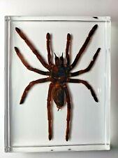 SELENOCOSMIA JAVANENSIS. Javan Yellow-kneed Tarantula casting resin.
