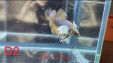 Fancy Yellow Dumbo HMPK Betta Fish